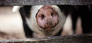 Baisse des importations de viande de porc en Chine au début de 2018