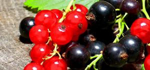 Dynamisme des exportations marocaines de fruits rouges
